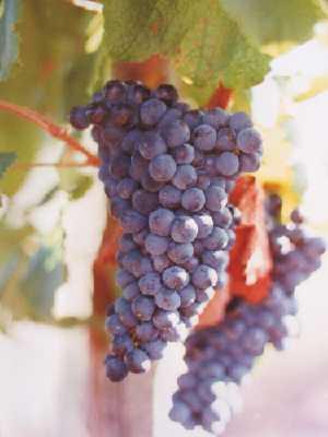 vino tannatjpg